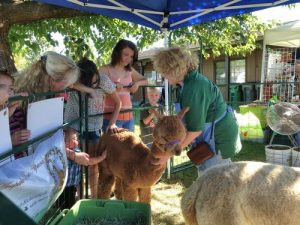 Alpacas at the Honey Bee Festival