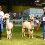 Award winning male & female Alpacas